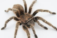 Tarantula Close Up Royalty Free Stock Photos