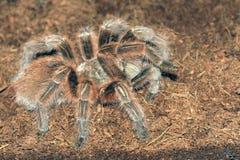 Tarantula. The close-up of a big venomous spider Royalty Free Stock Photo