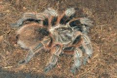 Tarantula. The close-up of a big venomous spider Stock Images