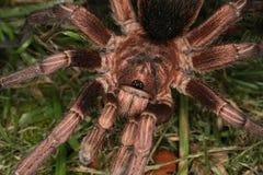 Tarantula (cochleasvorax de Phormictopus) Foto de Stock