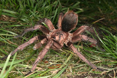 Tarantula (cochleasvorax de Phormictopus) Fotografia de Stock Royalty Free