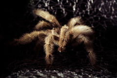 Tarantula coming out of the spider net Stock Photography
