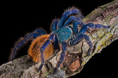 Tarantula crawling. A Green bottle blue tarantula is crawling on a branch royalty free stock images