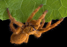 Tarantula crawling on leaf edge Stock Images