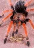 Tarantula and cricket. A cricket is sitting at the feet of a tarantula Stock Photo