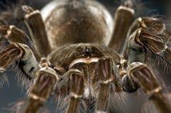 Tarantula d'Oiseau-Consommation de Goliath Photos libres de droits