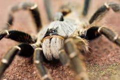Tarantula de cuernos del babuino Imágenes de archivo libres de regalías
