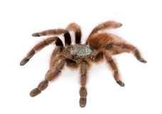 Tarantula de encontro ao fundo branco Fotografia de Stock