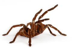 Tarantula de Goliath Birdeater   Photo stock