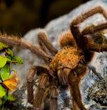 Tarantula de Tejas Brown Fotos de archivo libres de regalías