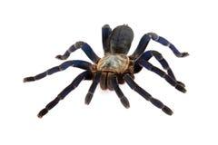 Tarantula del azul de cobalto. Fotos de archivo libres de regalías