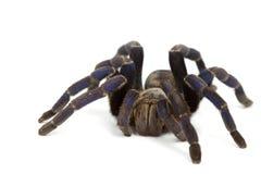 Tarantula del azul de cobalto Foto de archivo libre de regalías