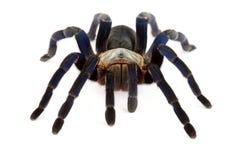 Tarantula del azul de cobalto (lividum de Haplopelma) imagen de archivo