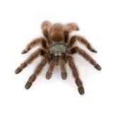 Tarantula del pinktoe de Antillas fotografía de archivo libre de regalías