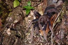 Tarantula del ragno fuori dal nido Fotografie Stock