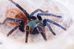 Tarantula dell'azzurro di Greenbottle Fotografia Stock Libera da Diritti