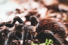tarantula stockfotos