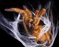 Tarantula displaying fangs Royalty Free Stock Images