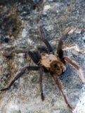 Tarantula du Texas Brown Image stock