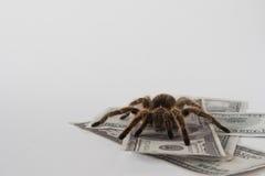 Tarantula e soldi Fotografia Stock Libera da Diritti