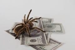 Tarantula e soldi Fotografie Stock