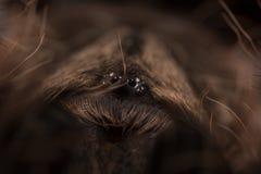 Tarantula eyes Stock Image