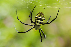 Tarantula foraging Royalty Free Stock Photos