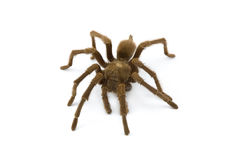 Tarantula, genus Aphonopelma Royalty Free Stock Images