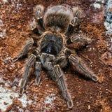 Tarantula Grammostola porteri isolated on black background.  royalty free stock photo