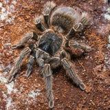 Tarantula Grammostola porteri isolated on black background.  stock images