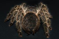 Tarantula Grammostola porteri isolated on black background.  stock photo