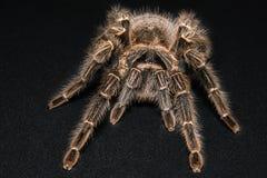 Tarantula Grammostola porteri isolated on black background.  stock photos