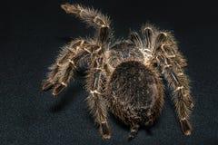 Tarantula Grammostola porteri isolated on black background.  royalty free stock image