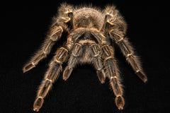 Tarantula Grammostola porteri isolated on black background.  royalty free stock photography