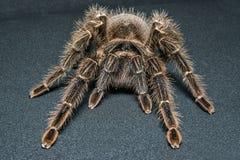 Tarantula Grammostola porteri isolated on black background.  royalty free stock images