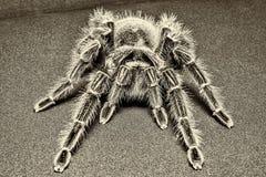 Tarantula Grammostola porteri isolated on black background.  royalty free stock photos