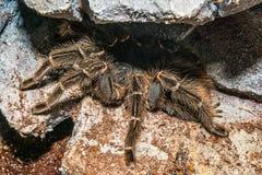 Tarantula Grammostola porteri isolated. Tarantula Grammostola porteri isolated in box stock photos