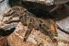 Tarantula Grammostola porteri isolated. Tarantula Grammostola porteri isolated in box royalty free stock photo