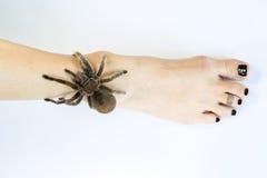 Chilean Rose Tarantula Crawling on Leg Royalty Free Stock Image