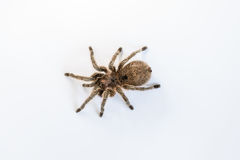 Chilean Rose Tarantula, Isolated Royalty Free Stock Photography