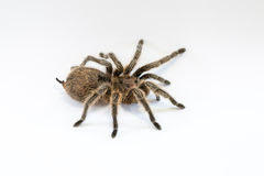 Rose Hair or Chilean Rose Tarantula Royalty Free Stock Photo