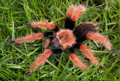 Tarantula on grass Royalty Free Stock Photo