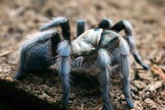 Tarantula in Grays stock fotografie