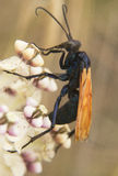 Tarantula Hawk Stock Photos