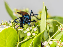 Tarantula hawk on a green bush stock photos