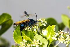 Tarantula hawk on a green bush Royalty Free Stock Photos