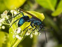 Tarantula hawk on a green bush Stock Image