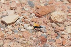Tarantula Hawk Moving Along Rock royalty free stock photo