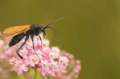 Tarantula hawk on pink flowers royalty free stock images