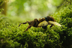 Tarantula and hawk wasp. Huge brown tarantula spider fighting with a tarantula hawk wasp (pepsis formosa) on a moss forest floor Stock Photos